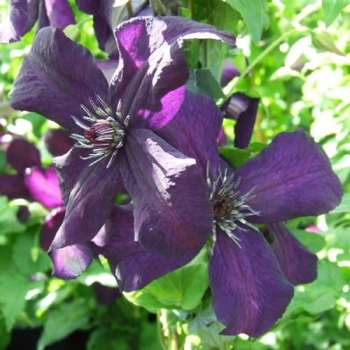 Clematis Dark Eyes